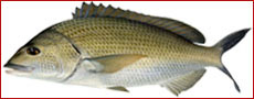 Bream Fishing Australia